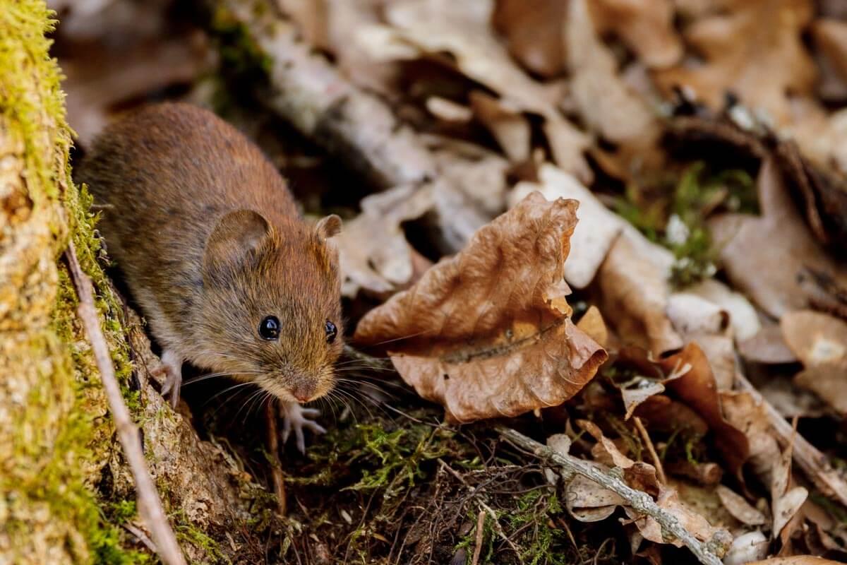 Waldfotografie: Mäuse fotografieren - so lichtest du die kleinen Nager ab - Woodland Photography